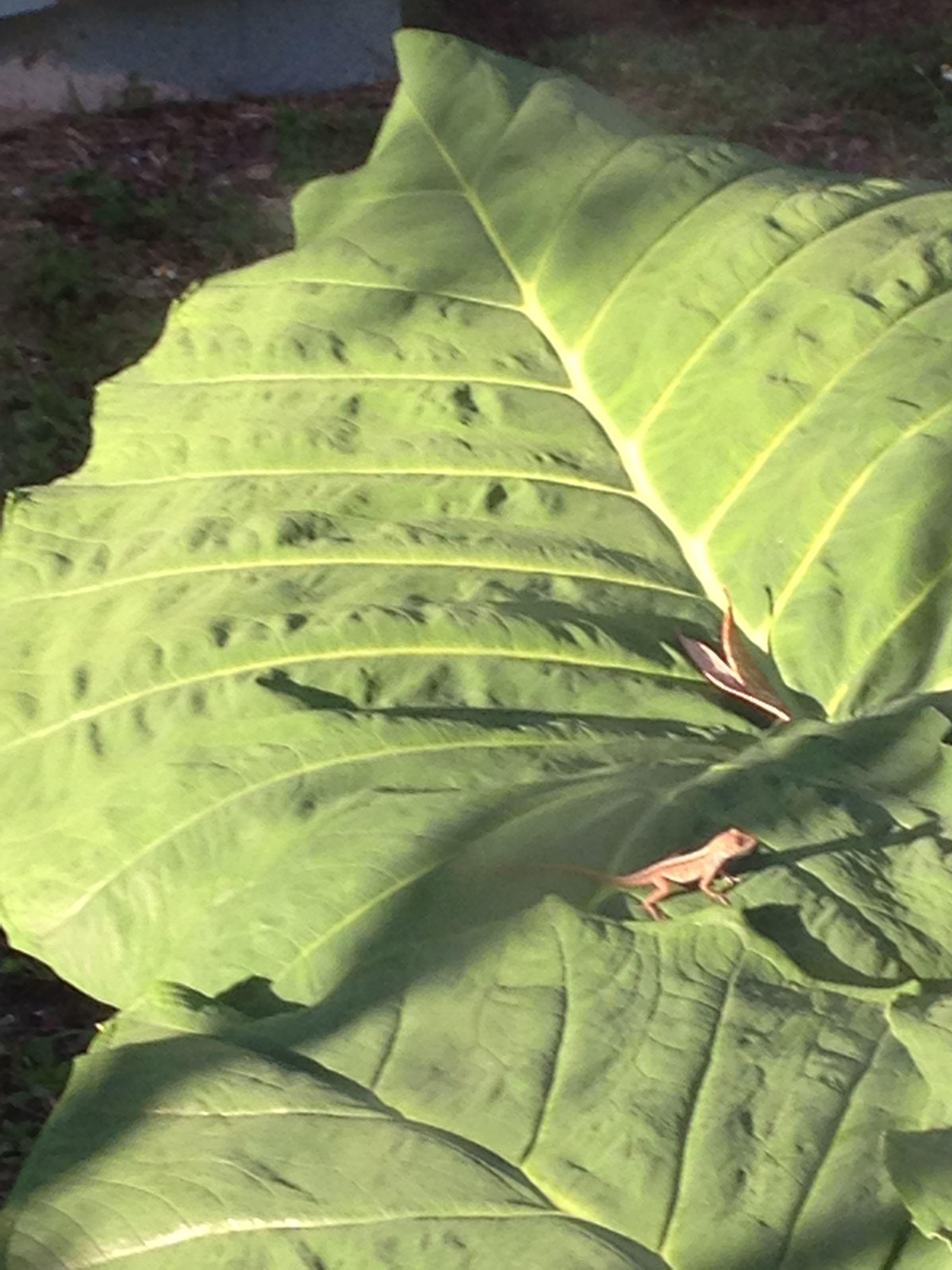 A small lizard on my Elephant Ear plant, My Secret Oais