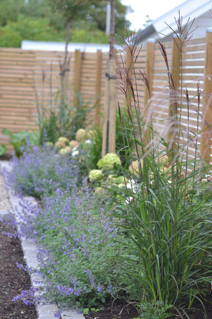 Hinten hohes Gras, vorne Nepeta (auch bekannt als Katzenminze / blaue Blüten)#a...