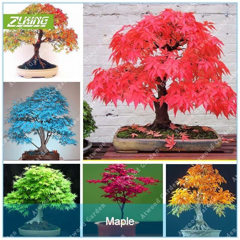 20 Pcs Blue Fire Maple Tree Seeds Bonsai Tree Seeds Rare ... Houseplants Red Japanese on fruit japanese, mushrooms japanese, flowers japanese,
