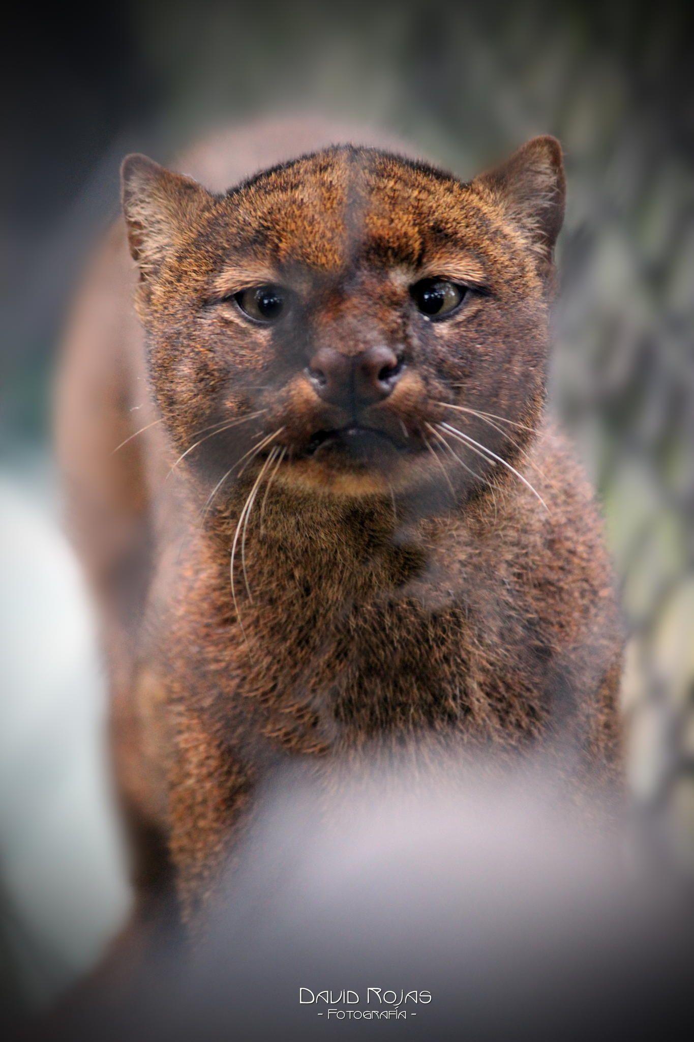 Jaguarundi wild cat