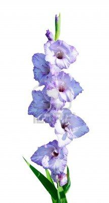 Flowers Of A Light Blue Gladiolus Gladiolus Isolated On White Gladiolus Floral Watercolor Flowers