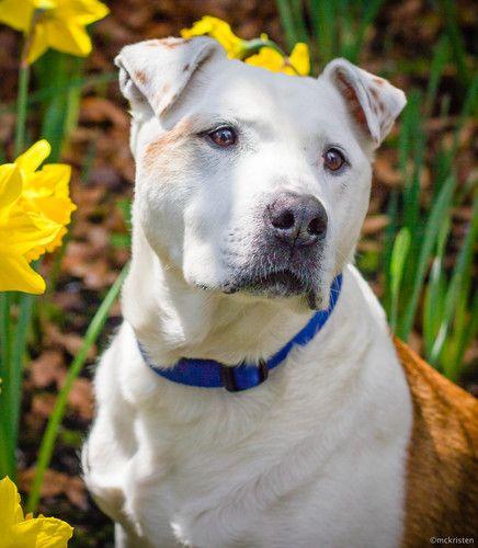 Chico American Bulldog Dog Seattle WA Rescue dogs