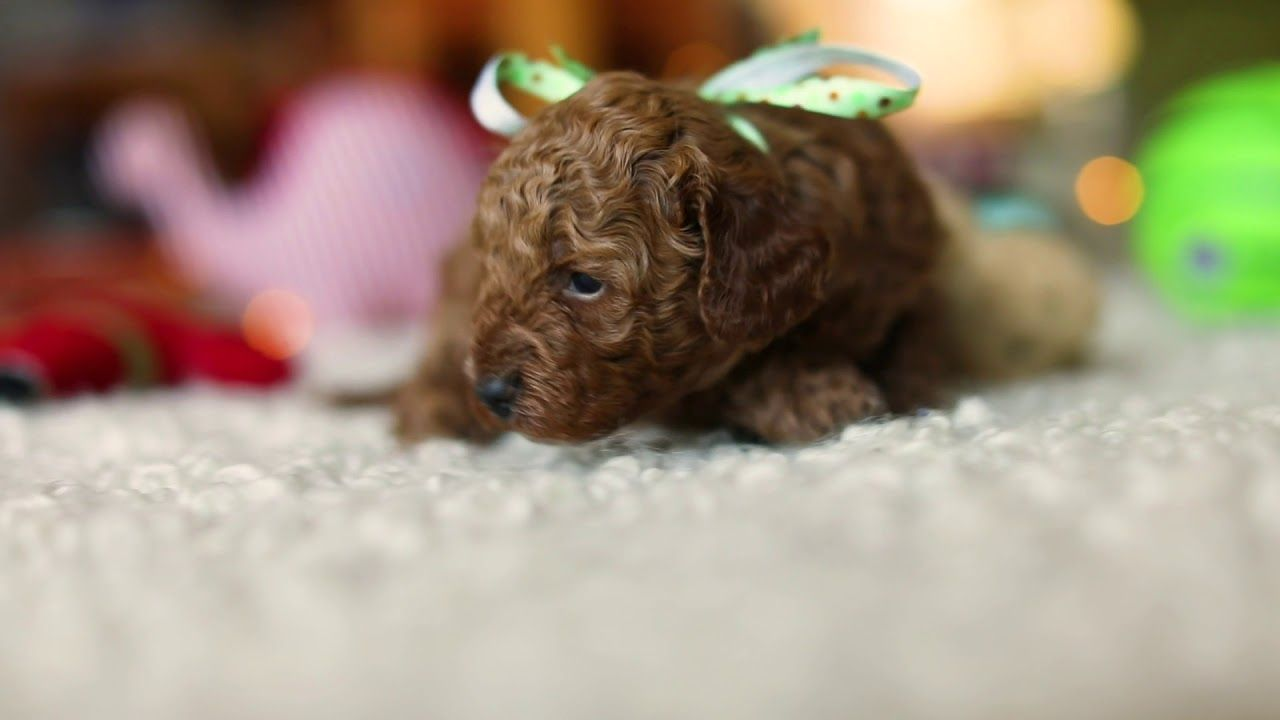 Cavoodle Puppy Ruby Red Cavapoo Girl 02 4 Weeks Old Puppies Cavapoo Puppies For Sale