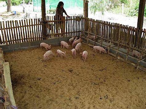 Building Nf Pig Sty Natural Pig Farming Suinocultura Porcos
