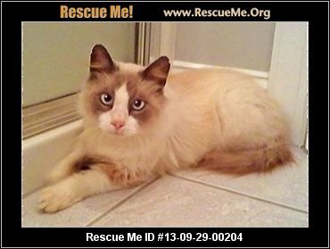 Pin On Ragdolls Up For Adoption
