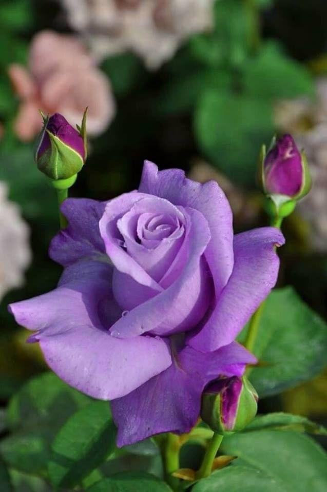 Épinglé par SYLVIE sur ROSES | Peinture fleurs, Planter ...