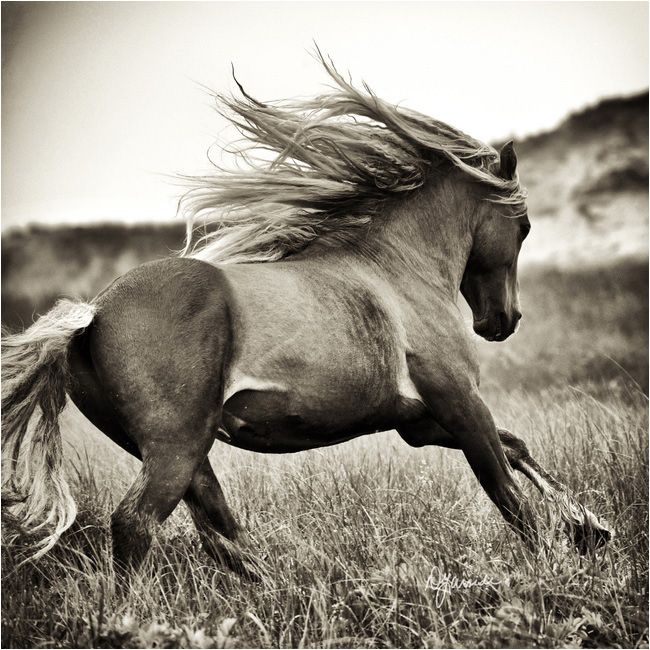 Beautiful Wild Horse On Sable Island National Park Reserve Of Canada Atlantic