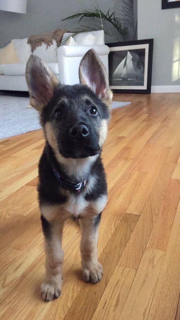 What a beautiful sweet faced German shepherd Puppy # ...