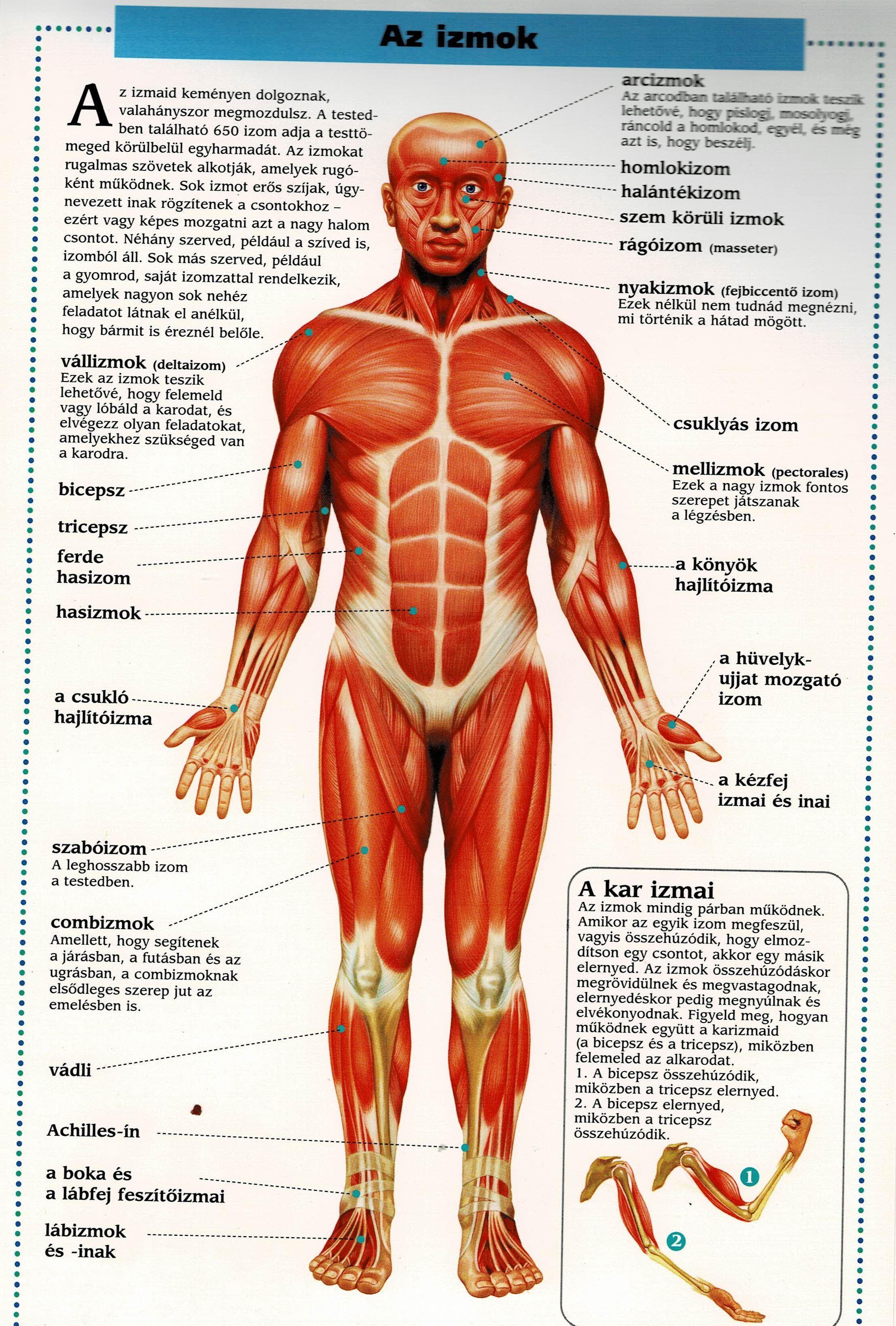 emberi test zsíréget