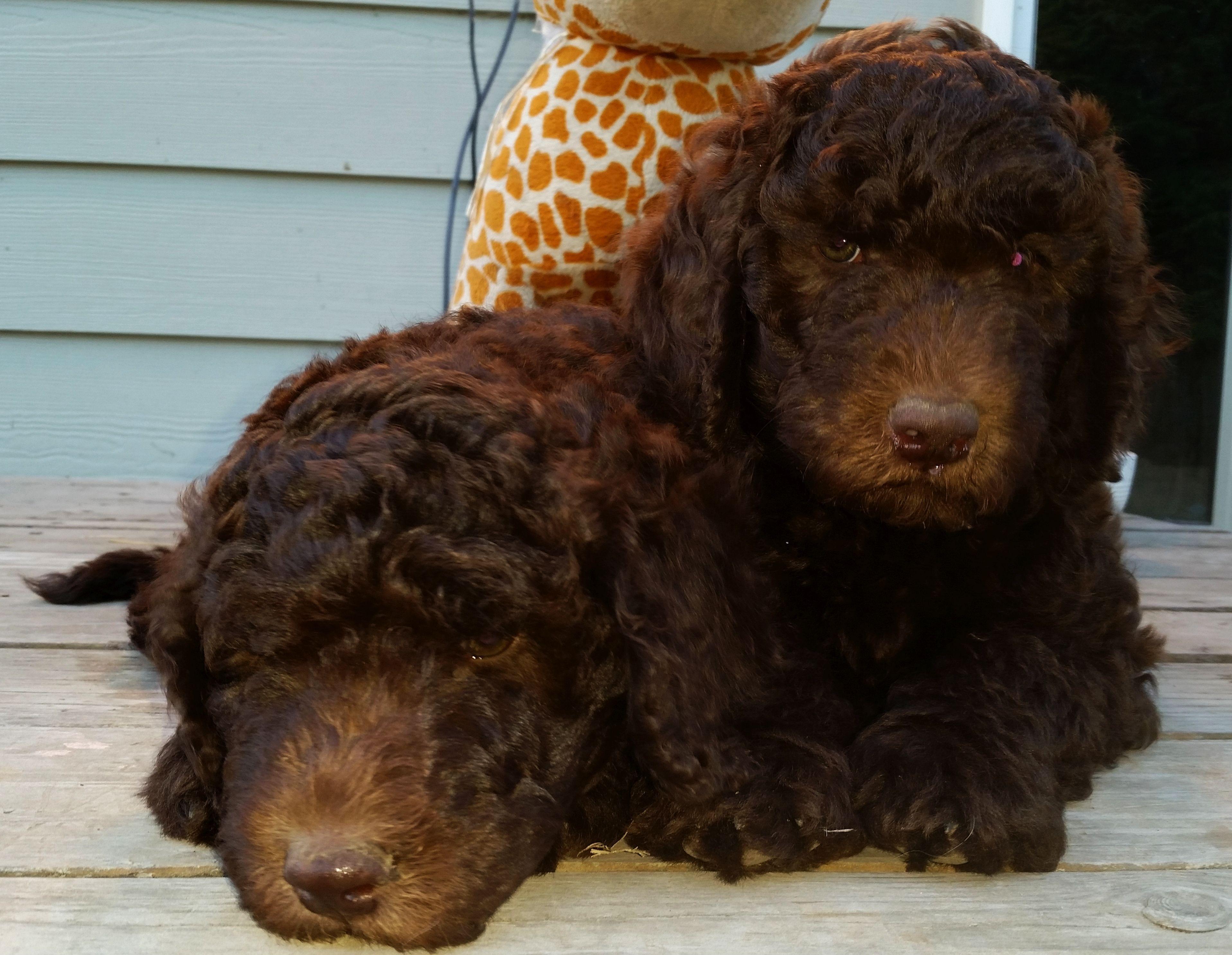 Multigen Labradoodle Puppies Summer 2014 Aussiedoodle And