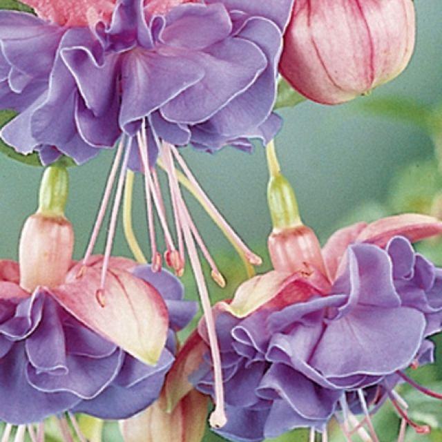 fuschia flowers pinterest fuchsie blumen und sch ne blumen. Black Bedroom Furniture Sets. Home Design Ideas