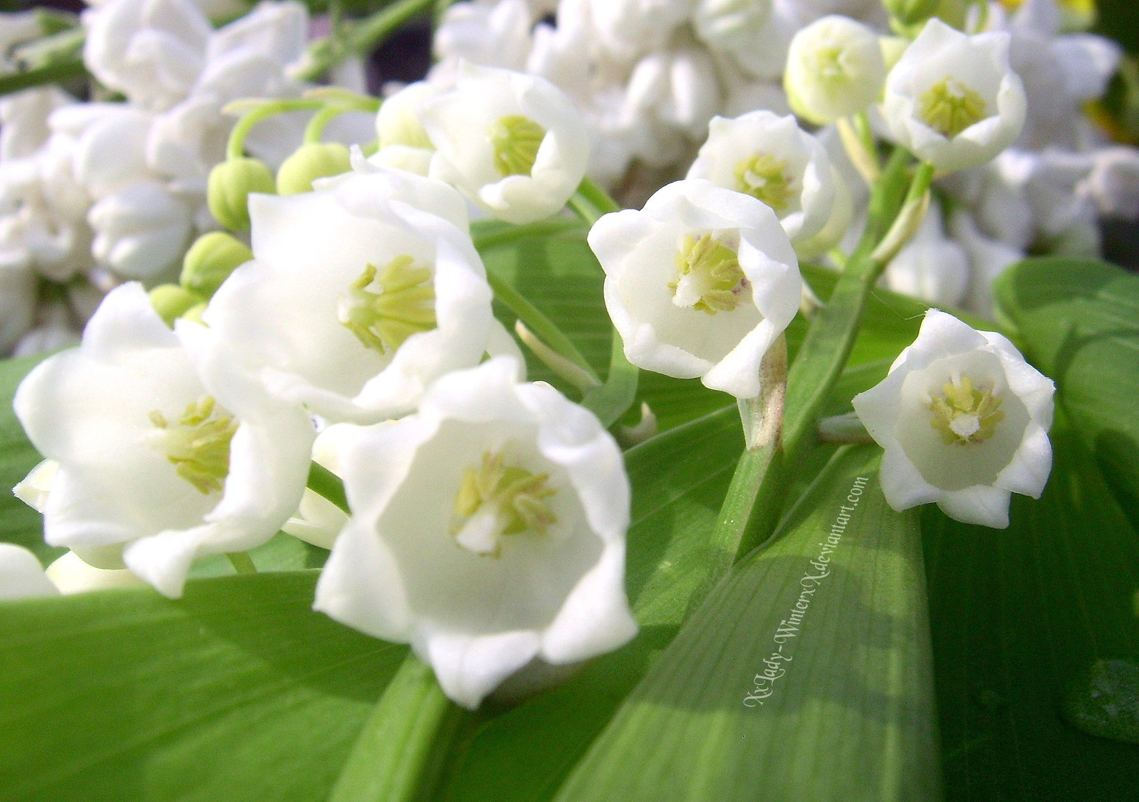 Lily of the Valley smell beautifully Lily of the valley