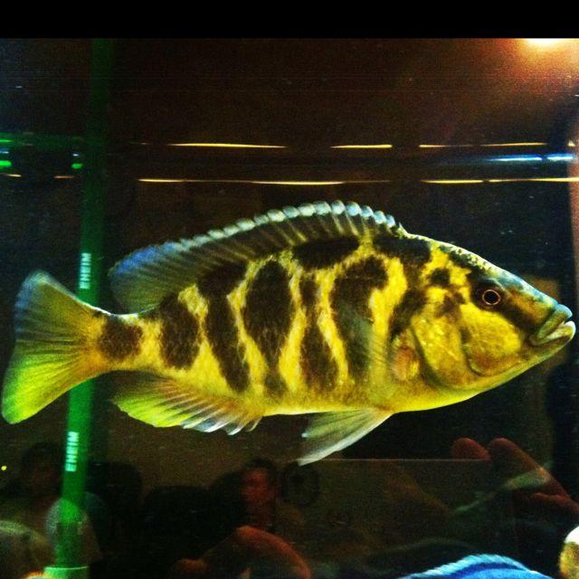 Female Venustus Cichlid Aquarium Aquarium Fish Cichlid Fish