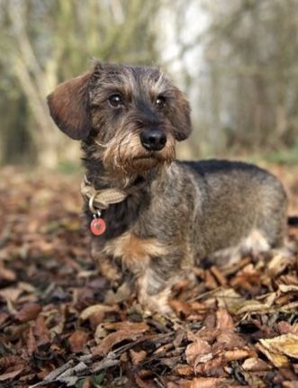 Pin By Gary Poke On Dachshunds Wire Haired Dachshund Dogs And