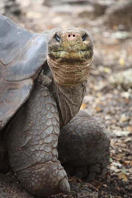 lonesome george by snackaroo  George is a Pinta Island Tortoise. He is the very last Pinta Island Tortoise left. He is estimated to be over 100 years old!