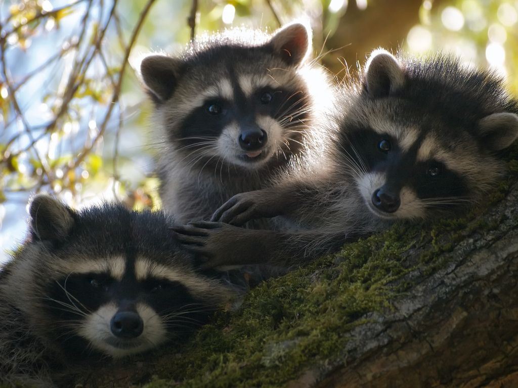 55 best raccoons images on pinterest animal close up eyes