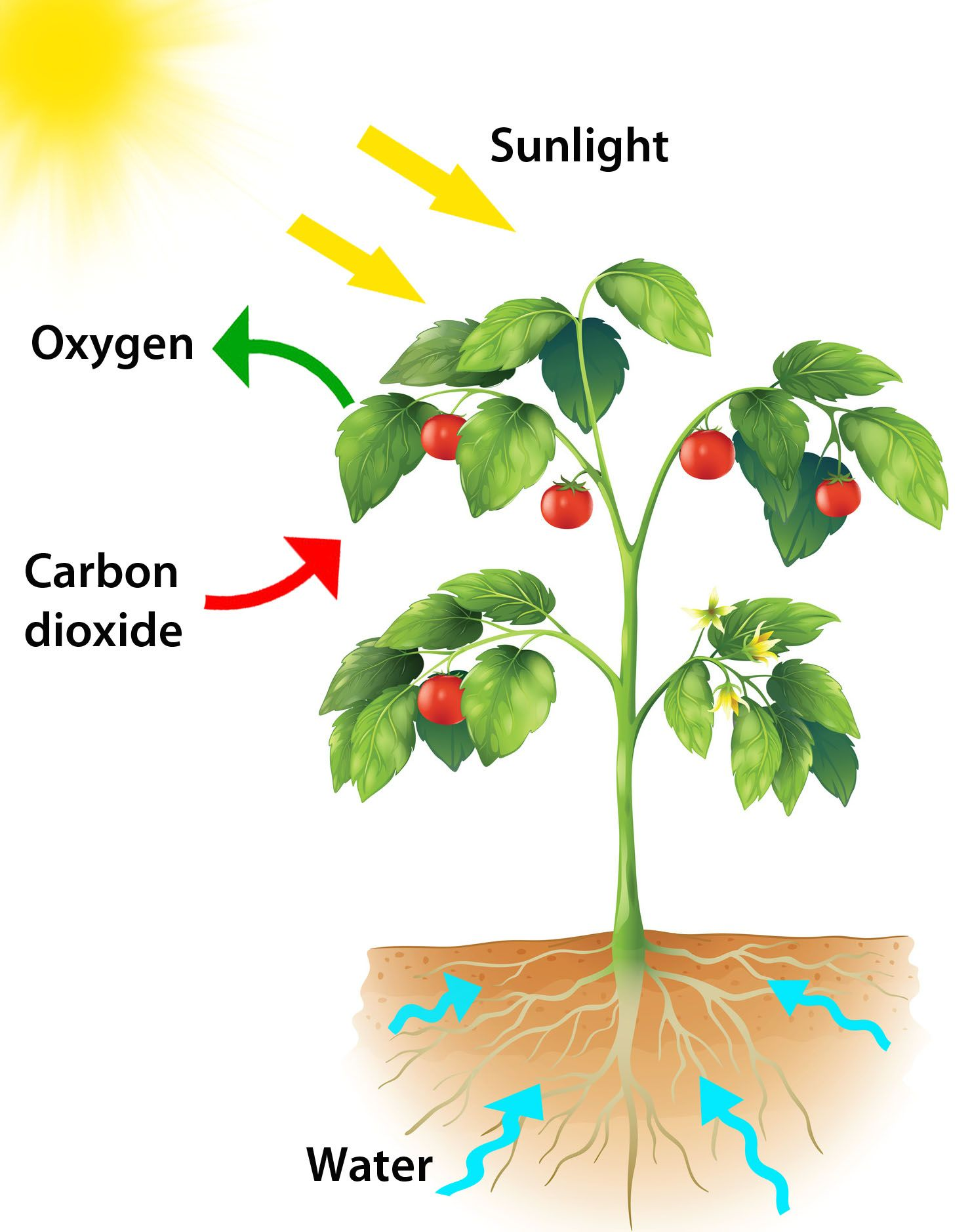 What Is Photosynthesis Why Is It Important Answers Provided For Kids Along With The Process Of Pho Photosynthesis Activities Photosynthesis Planting For Kids