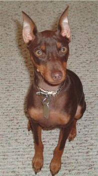 Miniature Pinscher Age 6 Months Miniature Doberman