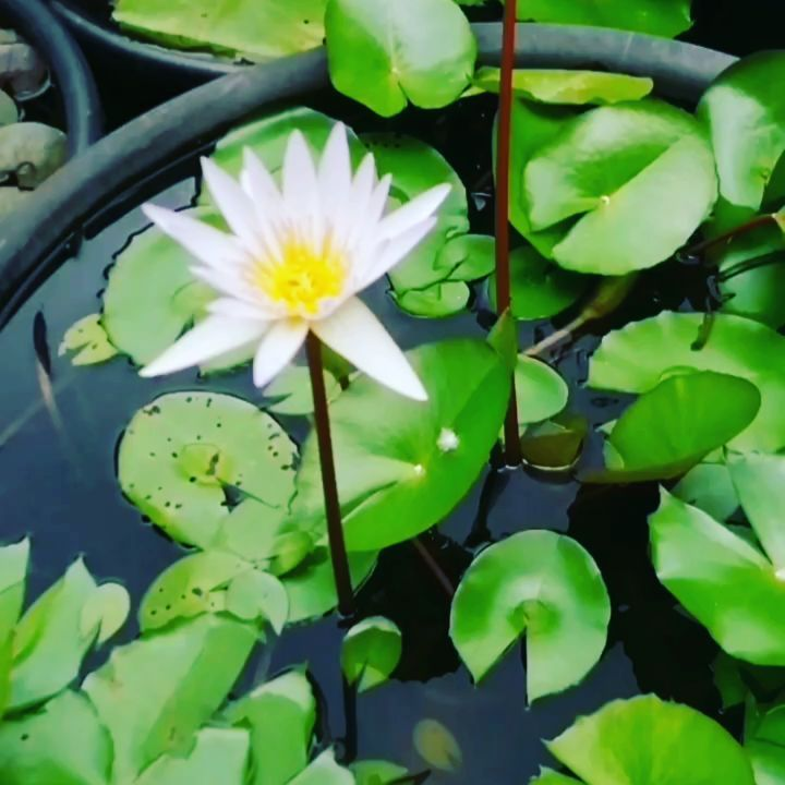 Lilac? Pink? Or lilacypink🤔😊 like our client described today, lol! Don't miss the special offers we have this weekend at the @gardenandflowerclub #virtualgardenshow . We love, love, love waterlilies! . 💚💚💚💚 If you are patient with them and allow them to mature, they become a source of so much joy in your water garden...😊. . . Waterlilies are the jewel in water gardens! Whether you are looking for classic or unusual colours like this, contact us! . . . . . . #odfg #garden #waterlilies #gar