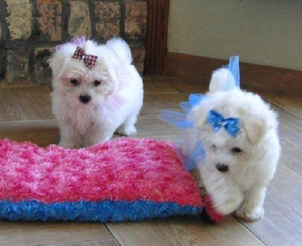 Maltese Puppies For Adoption Adorable Maltese Puppies For Free