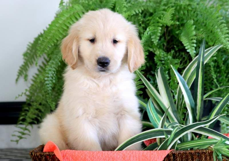 Golden Retriever Puppy For Sale In Mount Joy Pa Adn 71345 On