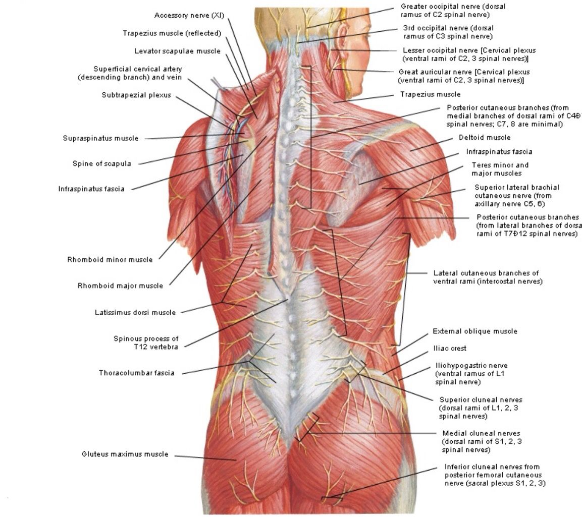 Posterior view of the superficial muscles of the back | Anatomy ...