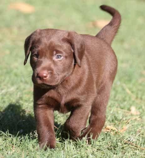 Dwarf Labrador Retriever Labrador Retriever Puppies For Sale In Arizona Labs Pups In 2020 Labrador Retriever Labrador Retriever Puppies Lab Puppies