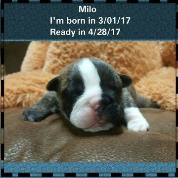 Litter Of 5 Bulldog Puppies For Sale In Laredo Tx Adn 25185 On