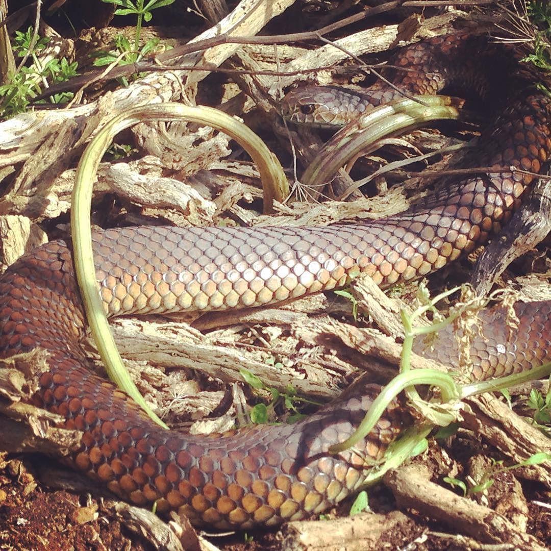 copperhead snake towerhill victoria australia reptiles reptilesofaustralia herpetology