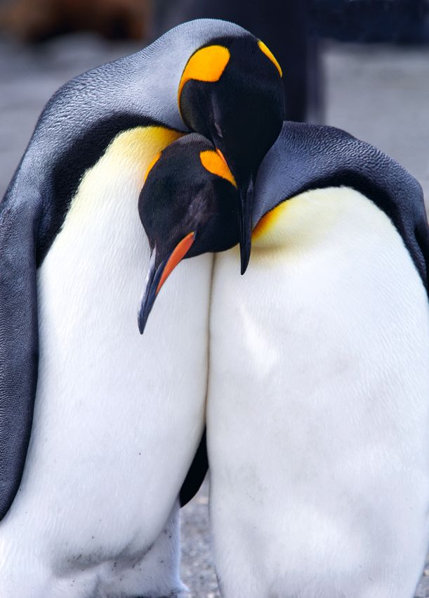 Antarctica's Adorable Emperor Penguins | Penguins, King ...