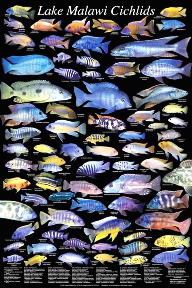 Lake malawi cichlid types african cichlid obsession for Fish tank fish types