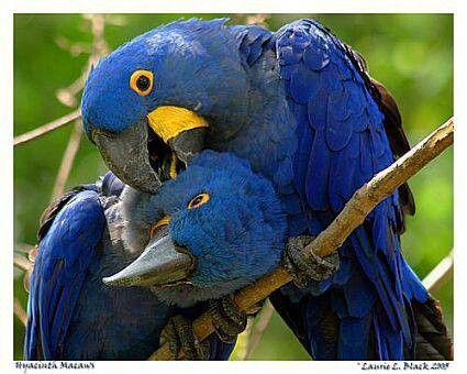 Hyper Online Online Shop Essential Top - Blue Hyacinth Macaw by VIDA VIDA Cheap Sale Pick A Best GcOBb