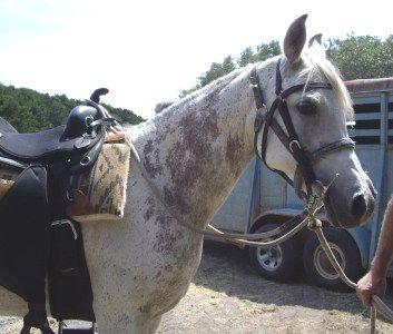 Flea-bitten Grey Arab mare with 'floral' Bloody markings.