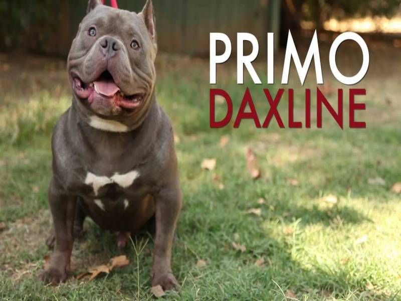 club de race american bully