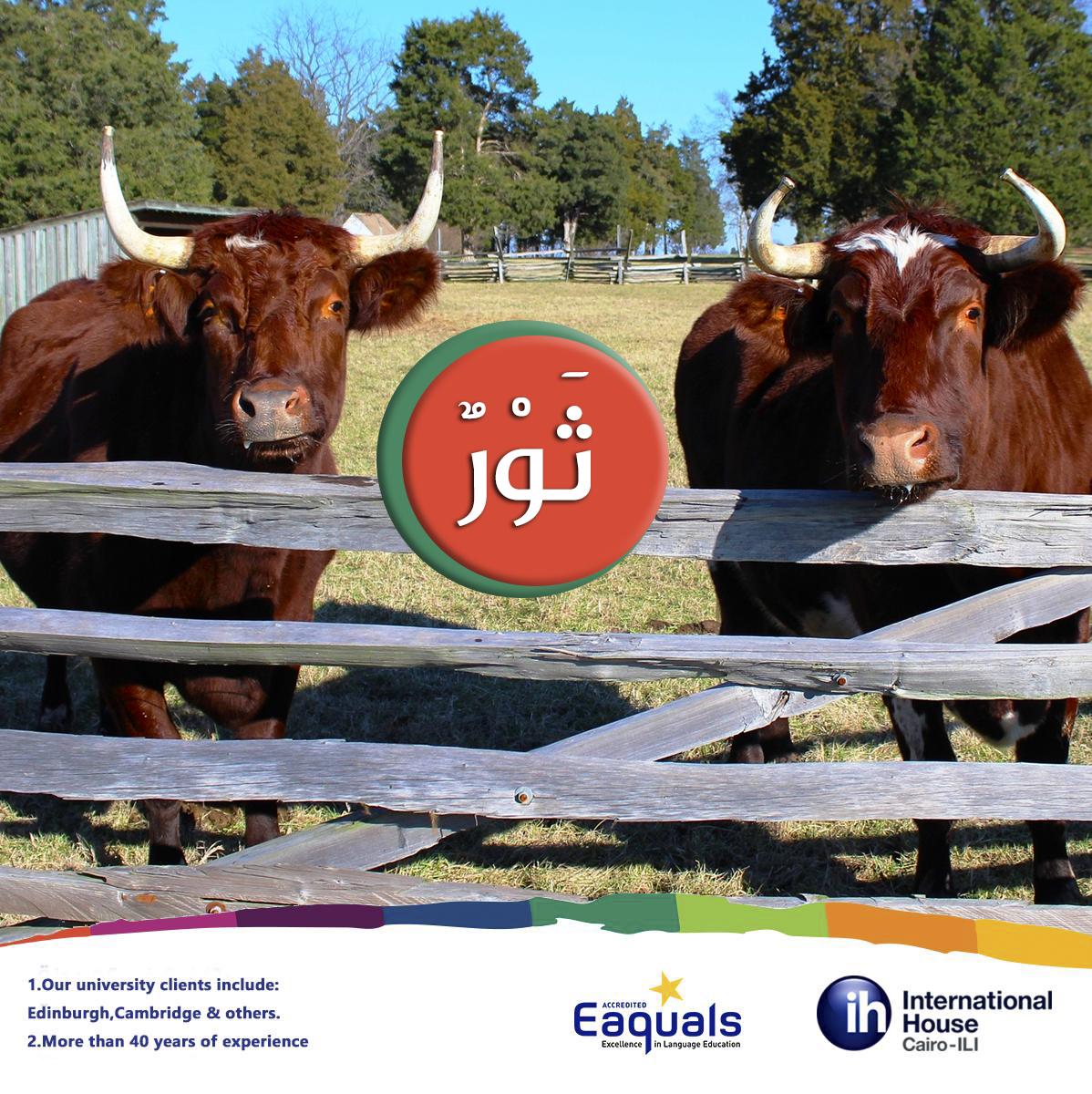 Oxen ثور Thawrun Farm Animals Names In Arabic أسماء حيوانات المزرعة باللغة العربية Arabic Studyabroad Msa Egypt C Cairo Modern Standard Arabic Animals