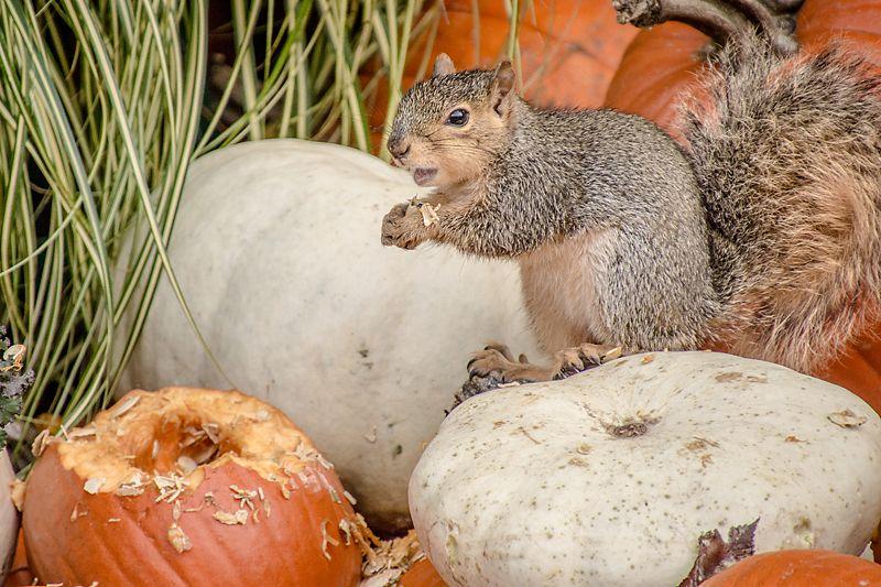 pumpkin eating squirrel Squirrel, Fabulous fall, Raisin