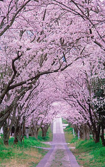 Cherry Tree Beautiful Tree Tree