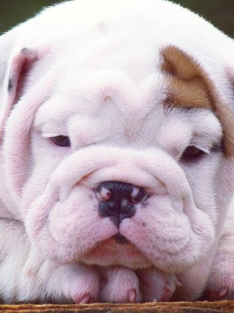 Precious Bulldog Puppy English Bulldog Puppies Bulldog Bulldog Puppies