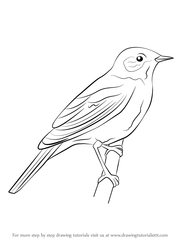 Learn How To Draw A Nightingale Birds Step By Drawing Tutorials