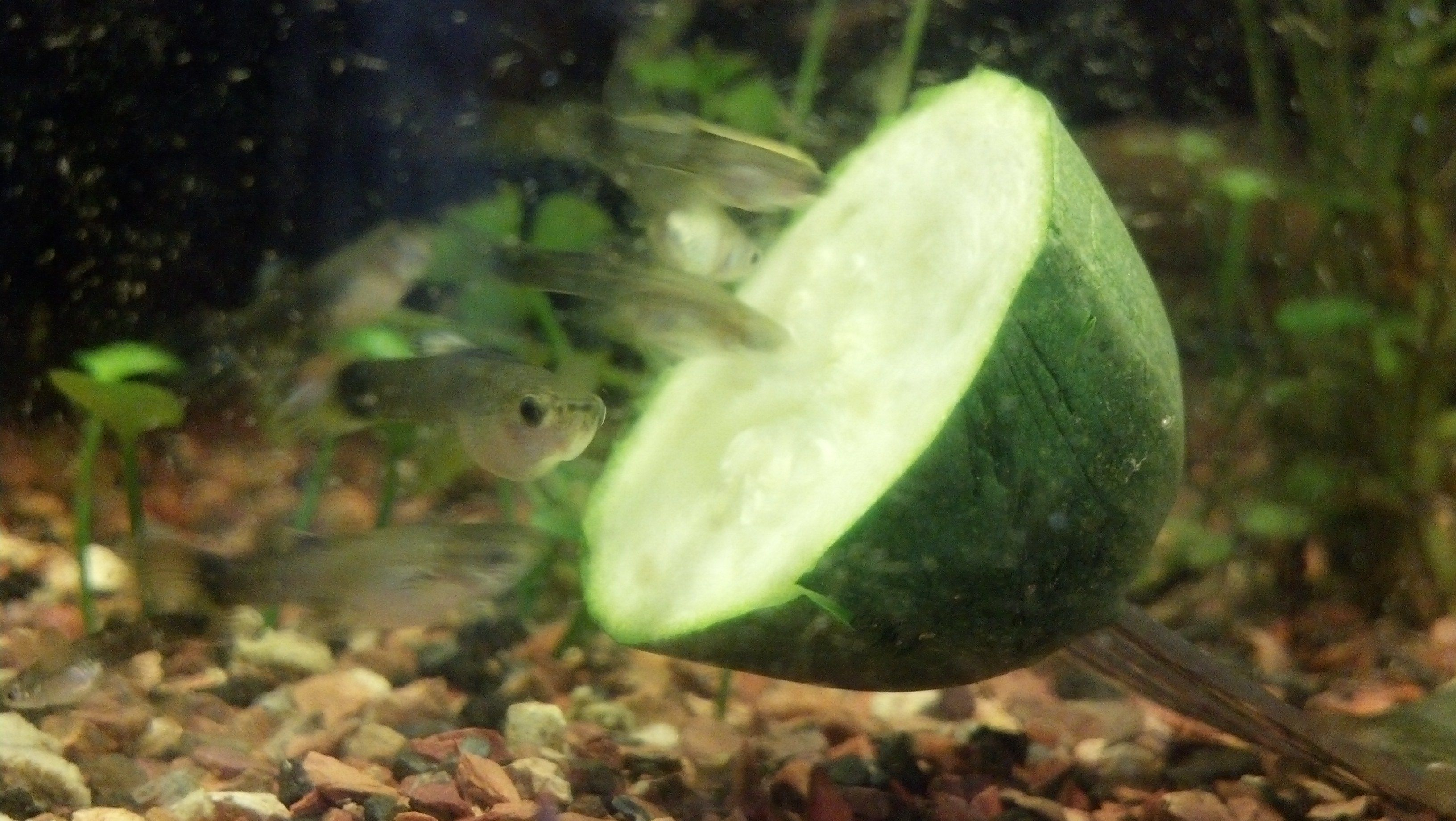Guppy fry pigging out on zuchini fish iit pinterest for Guppy fish food