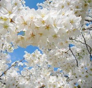 Cherry Blossoms Cherry Blossoms Cherry Blossoms Cherry Blossom Flowers White Cherry Blossom Love Flowers