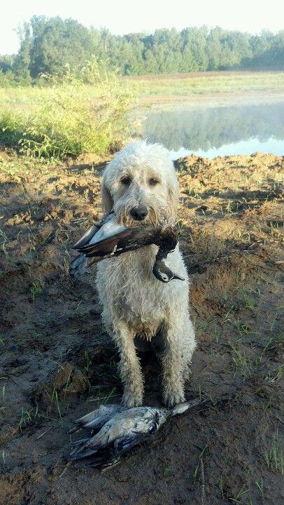 Got Duck Hunting Goldendoodle Chloe Izzy Piper Morgan Gabby