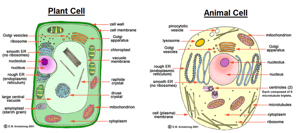 Difference Between Animal Cell And Plant Cell In Diagram Depicting