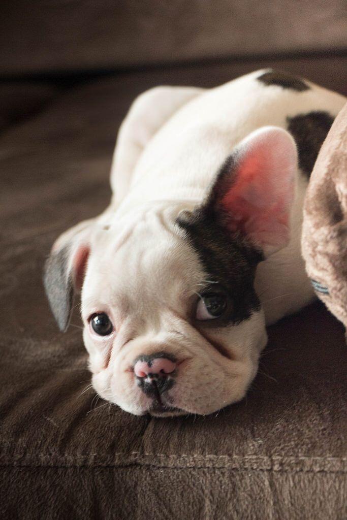 Bruninho Bulldog French Bulldog Frenchie Bulldog