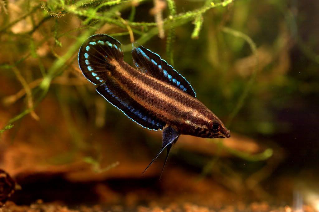 Parosphromenus Deissneri 2 Deissner S Liquorice Gourami Maximum Length 35 40mm Aquarium Fish Fish Freshwater Fish