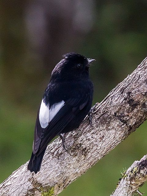 White-winged Robin (Peneothello sigillatus) -a species of bird in the family Petroicidae.