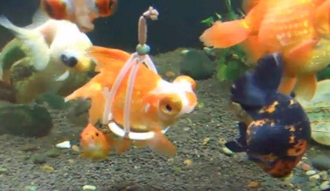 """Goldfish Owner Invents A Cork """"Wheelchair"""" To Help The Sick Fish Swim Properly"""