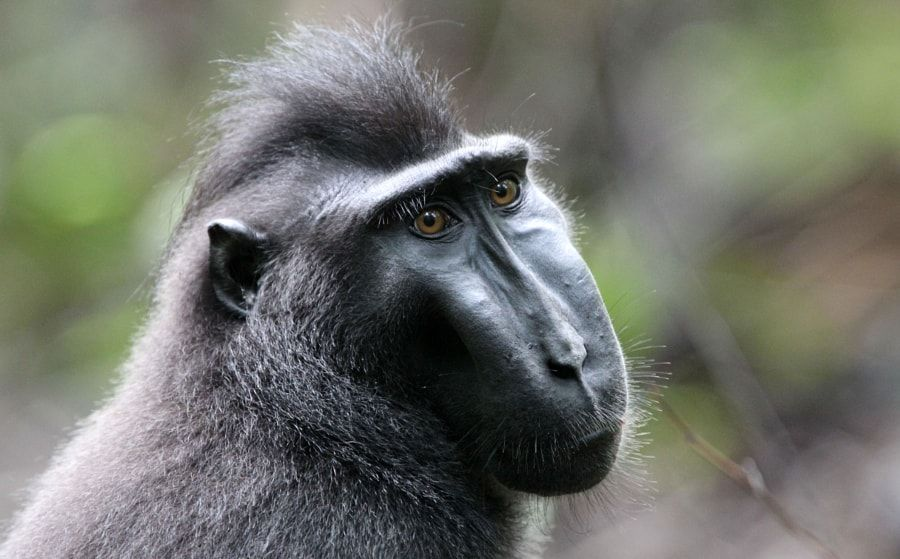 celebes macaque sulawesi black crested macaque by som coke photography photo