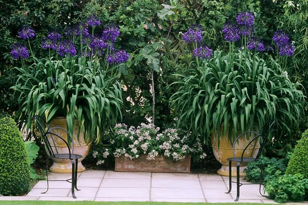 The Art Of Growing Agapanthus Agapanthus In Pots Plants Agapanthus