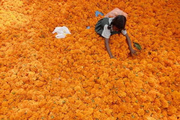 Garlands of Marigold flowers, India  Schoolgirl Bhargavi, 7, arranges garlands made from marigold flowers at a roadside stall on the eve of the Hindu festival of Diwali in the southern Indian city of Hyderabad. Flowers are offered to Hindu gods and goddesses on the occasion of Diwali, the annual festival of lights that will be celebrated across the country on Saturday.